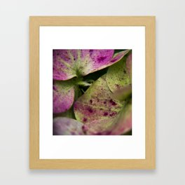 hydranjea pink and green Framed Art Print