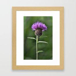 Common Knapweed 1 Framed Art Print