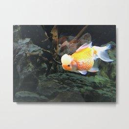 Crown pearlscale Goldfish Metal Print