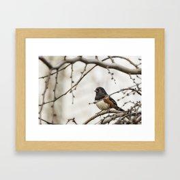 Spotted Towhee Framed Art Print