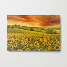 Red sunset over the rolling sunflowers and sunflower fields of Tuscany, Italy Metal Print