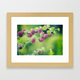 Young cones coniferous in the spring in the garden Framed Art Print