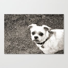 Molly black and white Canvas Print