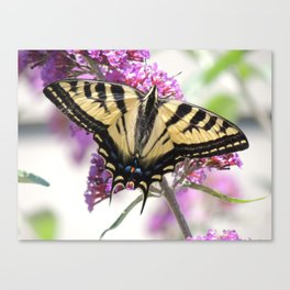 Western Tiger Swallowtail on the Neighbor's Butterfly Bush Canvas Print