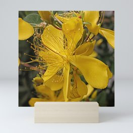 Hypericum flower closeup Mini Art Print