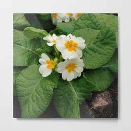 Little primula flower at the park Metal Print