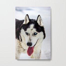 Siberian Husky with blue eyes Metal Print