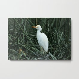 Young Egret in Reeds Metal Print