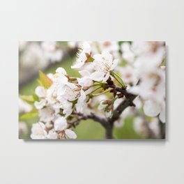 Plum Blossoms in the Early Spring Metal Print