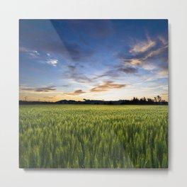 Evening wheat field Metal Print