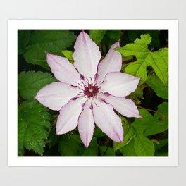 Pale Pink Clematis Art Print