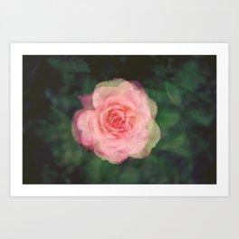 Rose Study 4 Art Print