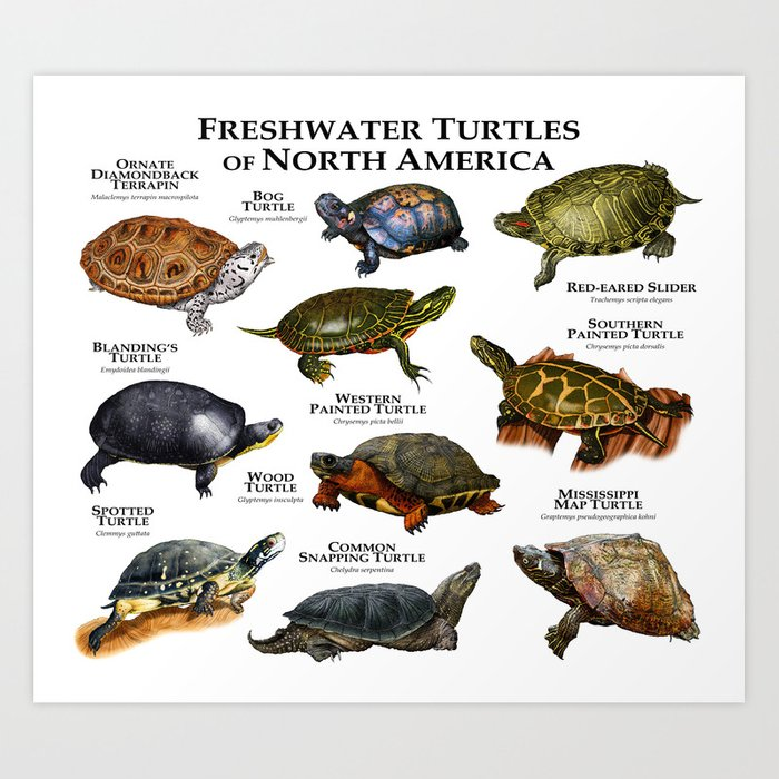 Freshwater Turtles of North America Kunstdrucke