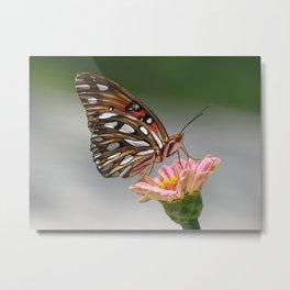 Gulf fritillary butterfly on a zinnia flower Metal Print