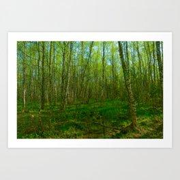 Birch forest on a spring  dawn Art Print