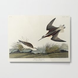 Wilsons Phalarope from Birds of America (1827) by John James Audubon etched by William Home Lizars Metal Print