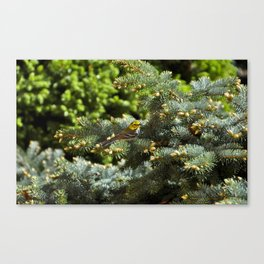 White Eyed Vireo in a tree Canvas Print