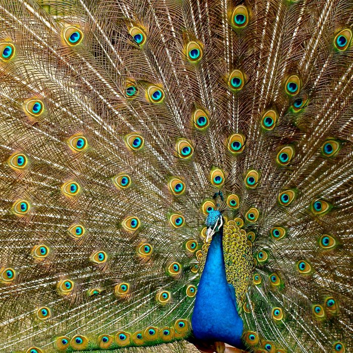 Peacock Spreading Feathers Comforters