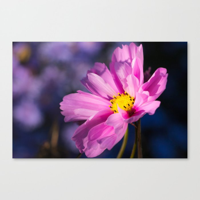 cosmea flower Canvas Print