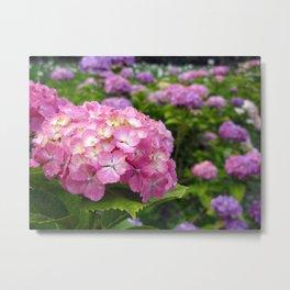 Vivid Pink and Purple Hydrangeas Photography Metal Print