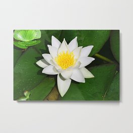 White Water Lily Metal Print