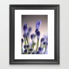 Agapanthus Buds Framed Art Print