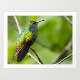 Coppery Headed Emerald Hummingbird Art Print