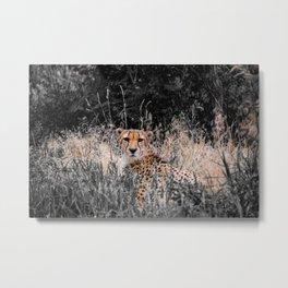 Cheetah Cheetah Metal Print