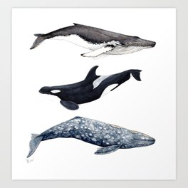 Orca, humpback and grey whales Art Print