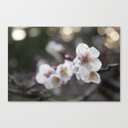 The Early Cherry Blossom Canvas Print