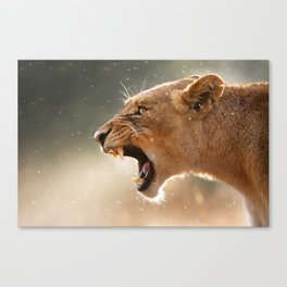 Lioness displaying dangerous teeth Canvas Print
