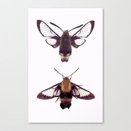snowberry clearwings Canvas Print
