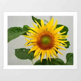 Sunflower Helianthis Occidentalis Art Print
