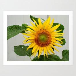 Sunflower Helianthis Occidentalis Art Print
