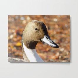 Autumn Northern Pintail Metal Print