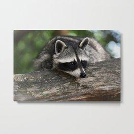 Very Cute Raccoon Metal Print