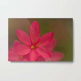 Pink Crocosmia Metal Print