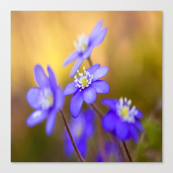 Spring Wildflowers, Beautiful Hepatica in the forest on a sunny and colorful background Canvas Print