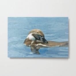 Humboldt penguin (Spheniscus humboldti) Metal Print