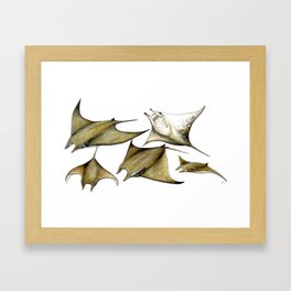 Chilean devil manta ray (Mobula tarapacana) Framed Art Print