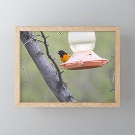 Baltimore Oriole 2 Framed Mini Art Print