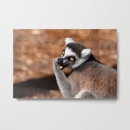 Portrait of a ring tail lemur eating Metal Print
