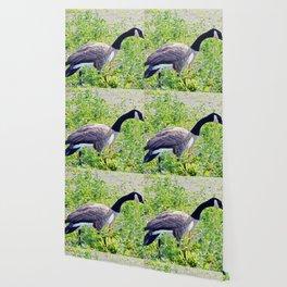 Canada Goose close-up Wallpaper