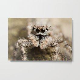 Curious Jumping Spider Metal Print