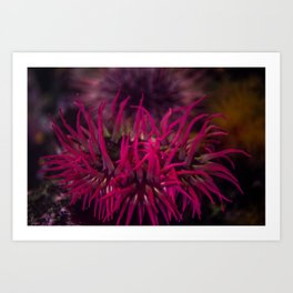 Rose anemone Art Print