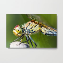 Beautiful colorful dragonfly extreme macro insect resting on dried bamboo stick in summer Metal Print