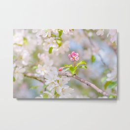 Apple blossom - Beauty Metal Print