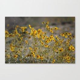 Brittle Bush 4 At Coachella Wildlife Preserve Canvas Print