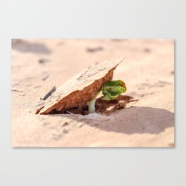 Sprouting cotton Canvas Print
