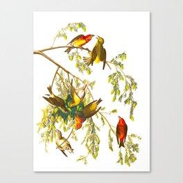 American Crossbill Vintage Bird Illustration Canvas Print